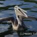 pelican_brown_can_h_0082_mex0092.jpg