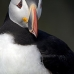 puffin_atlantic_msi_v_0970_can0583.jpg