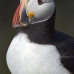 puffin_atlantic_msi_v_0972_can0585.jpg